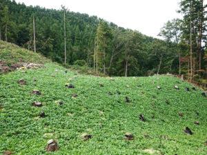 山焼きの赤カブ畑